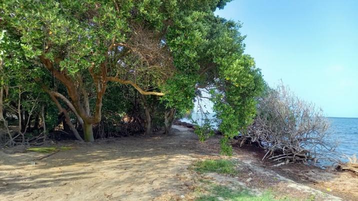Sargasses à la Baie Coco