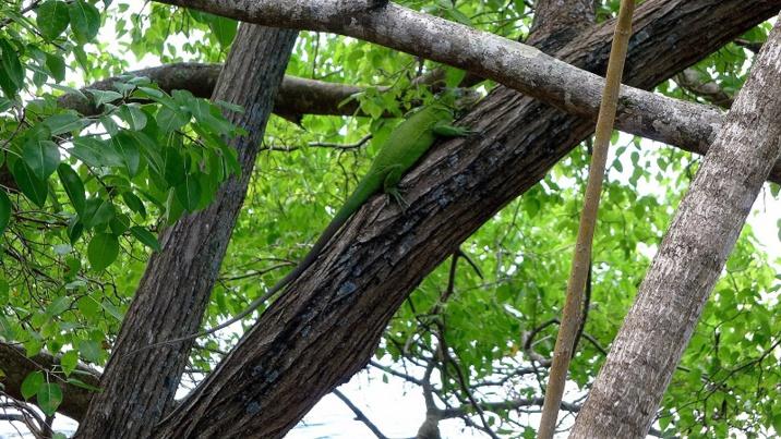 Protection Iguane des Petites Antilles (Iguana delicatissima) - Ilet Chancel Robert