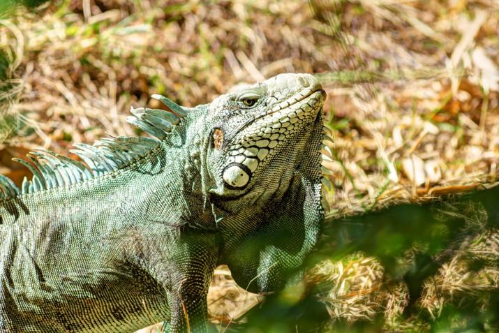 Iguane Martinique @Selden Vestrit