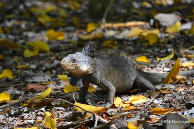 Iguane de Martinique mâle (Iguana delicatissima à l'îlet Chancel)