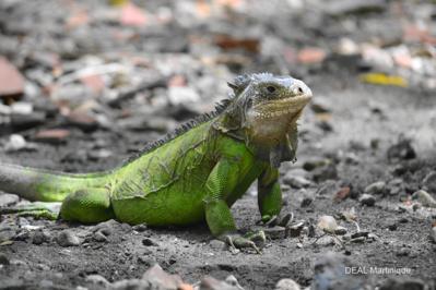 Iguane Martinique femelle