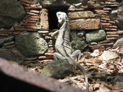 A faire depuis Le Robert : partir en bateau à l'ilet Chancel pour voir de rares iguanes