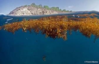 Sargasses : algues brunes flottantes