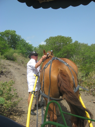 Le cheval Colibrette pret à tracter la calèche autour de l'ilet Chancel
