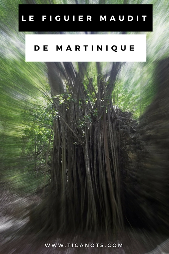 Figuier Maudit de Martinique