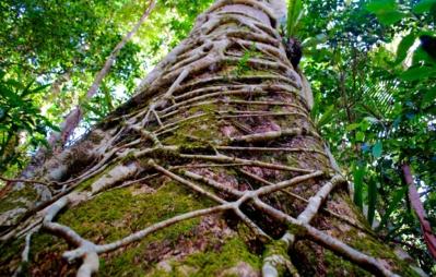 Figuier maudit de martinique : tueur d'arbre ou rouage de l'ecosystème ?
