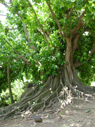 Figuier Maudit Martinique ou Ficus citrifolia