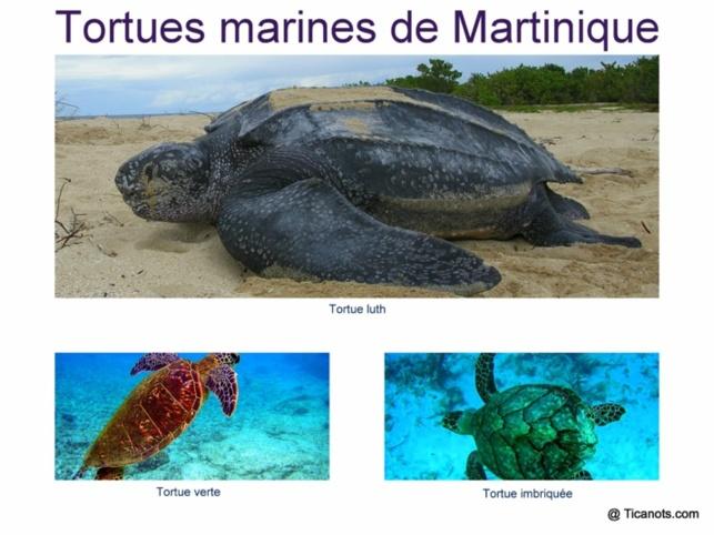 Tortues Martinique
