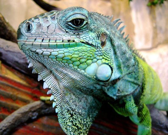 Iguane vert @ encyclopédie larousse