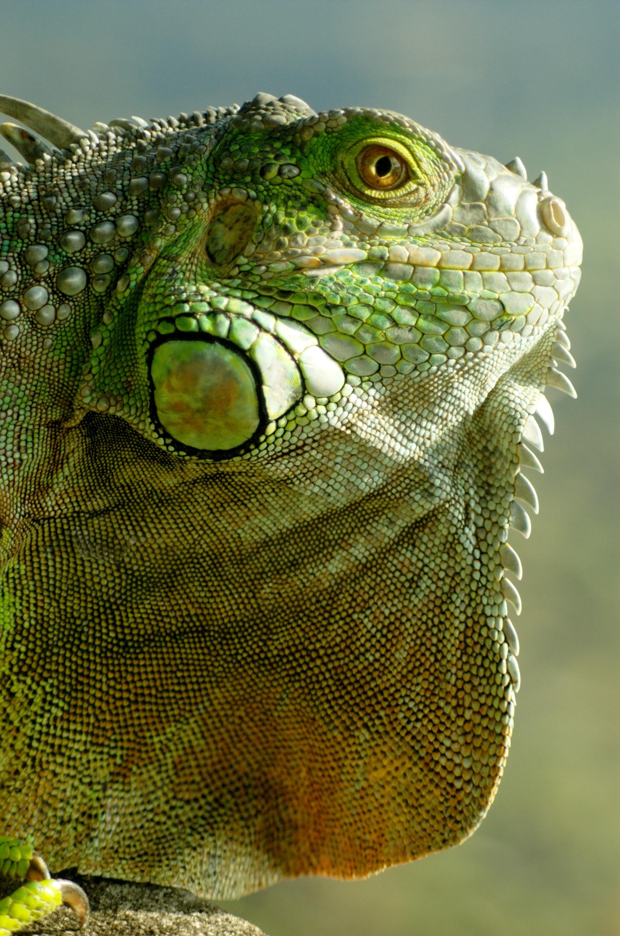 Où voir des iguanes en Martinique ?