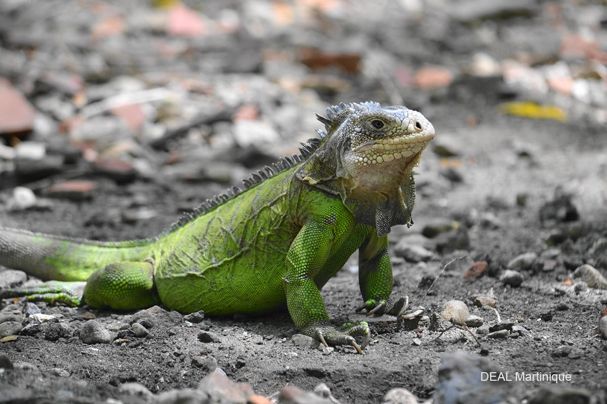 Iguana delicatissima : Un des iguanes les plus rares du monde à voir assurément sur l'îlet Chancel, cela se mérite !