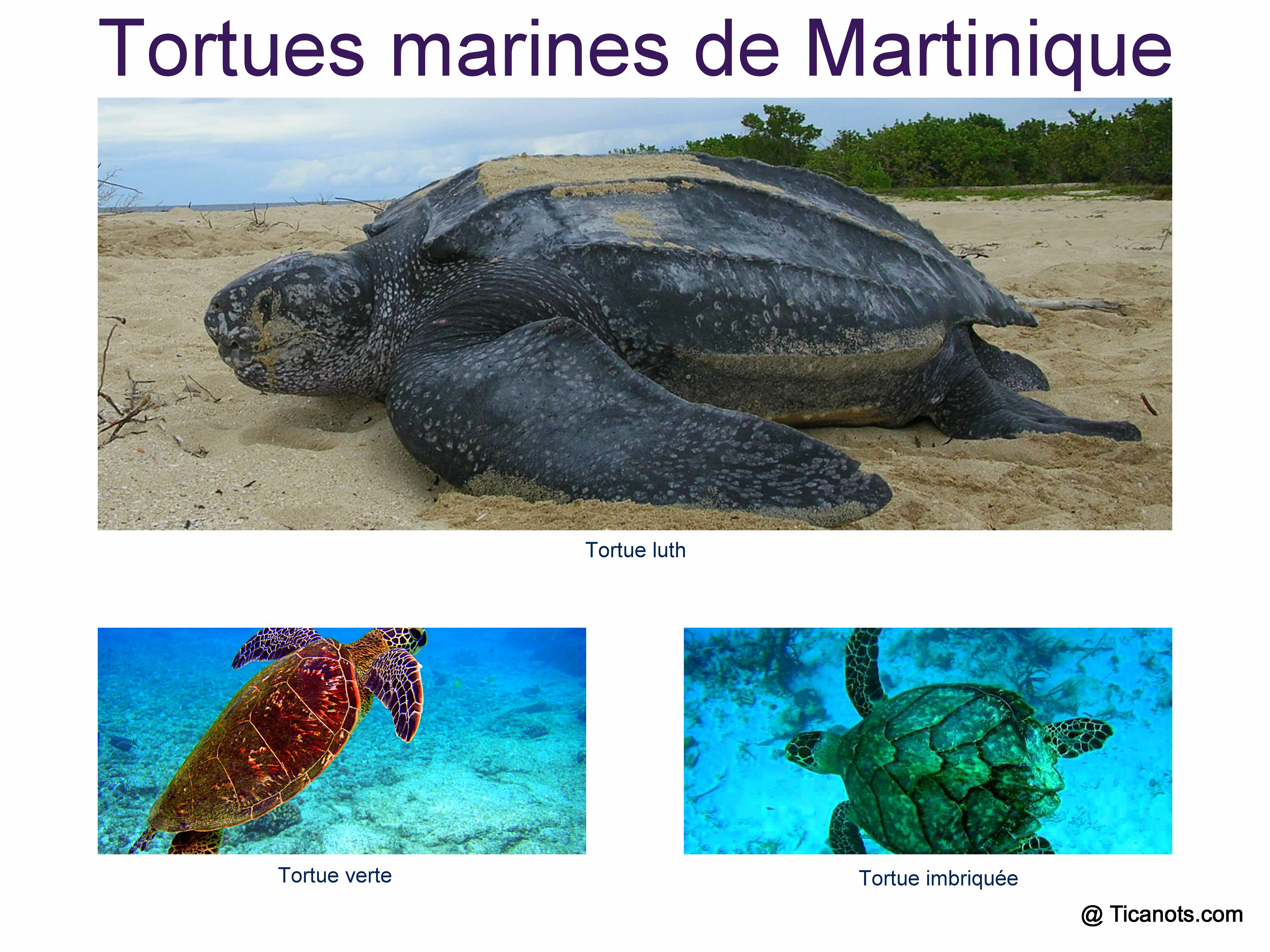 Tortues Martinique