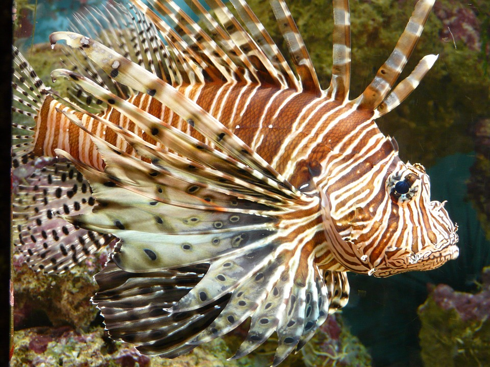 lionfish-53988_960_720