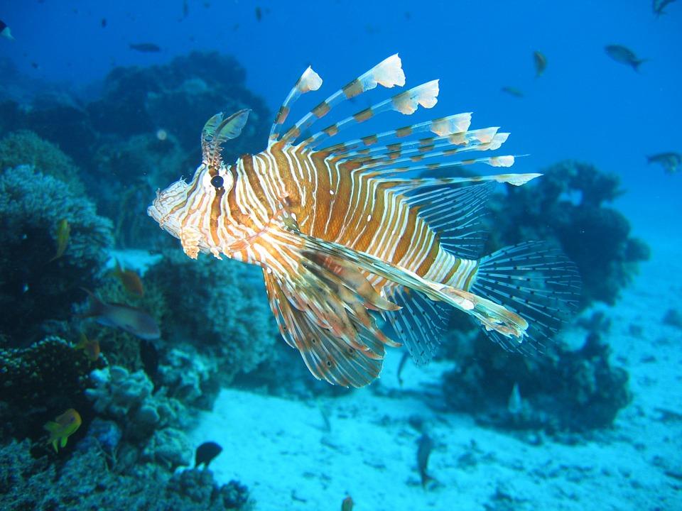 lionfish-587709_960_720